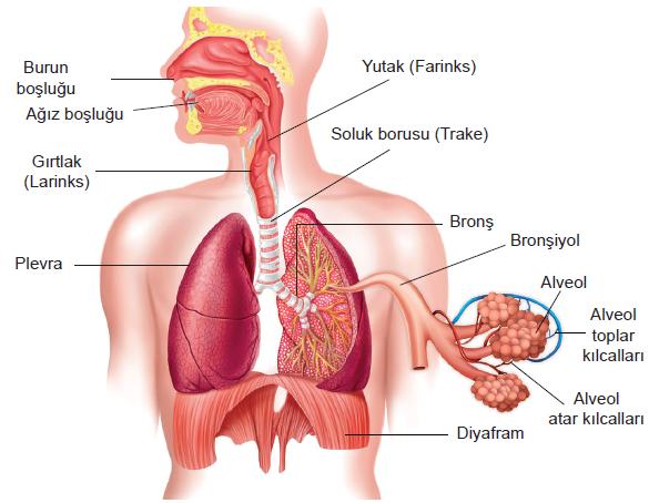 alt alveol nedenleri, alt alveol tedavisi, alt alveol gingiva nedenleri
