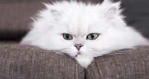 iran kedisi bakımı, iran kedisi nasıl bakılır, iran kedilerinde bakım